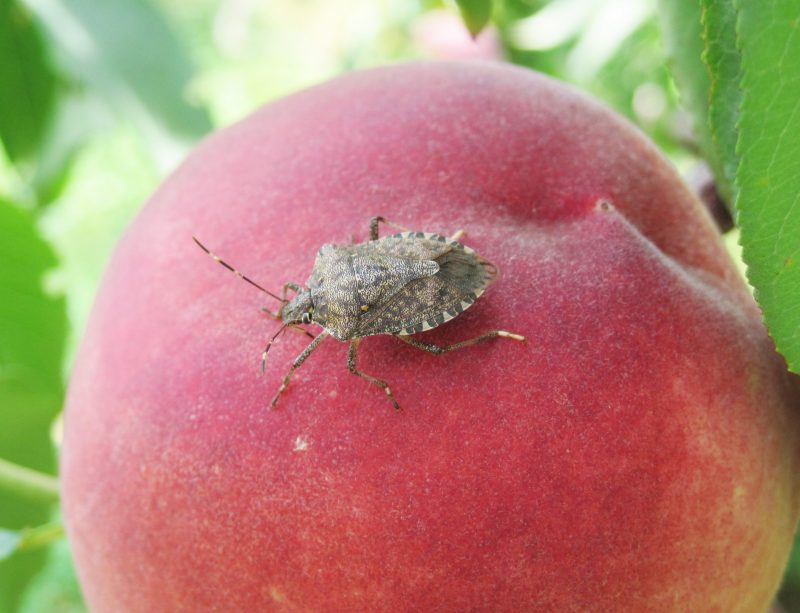 picture of an adult BSMB on a peach