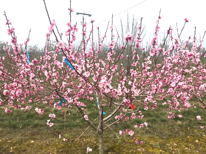 picture of a stone fruit tree blooming
