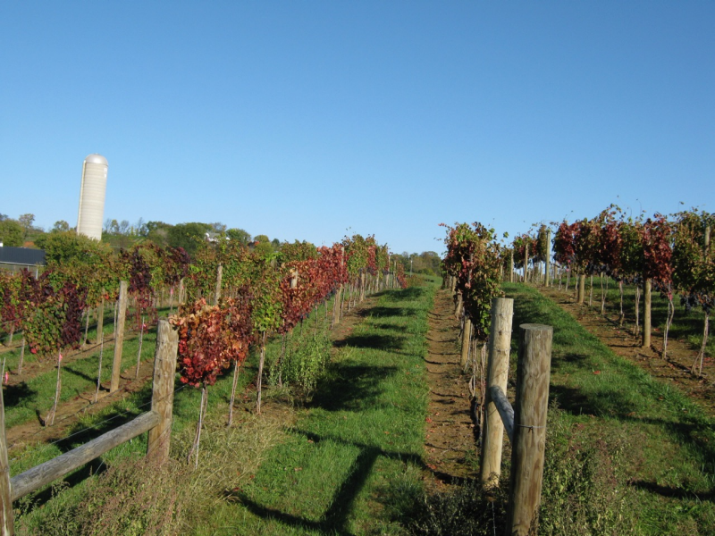 "Red ""fall color"" of these vines in a central Virginia is a symptom of grapevine leafroll-associated virus infection"