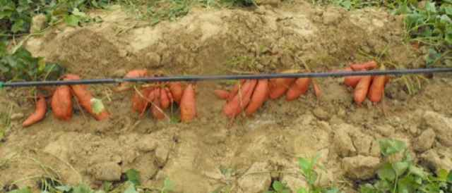 sweet potato drip irrigation