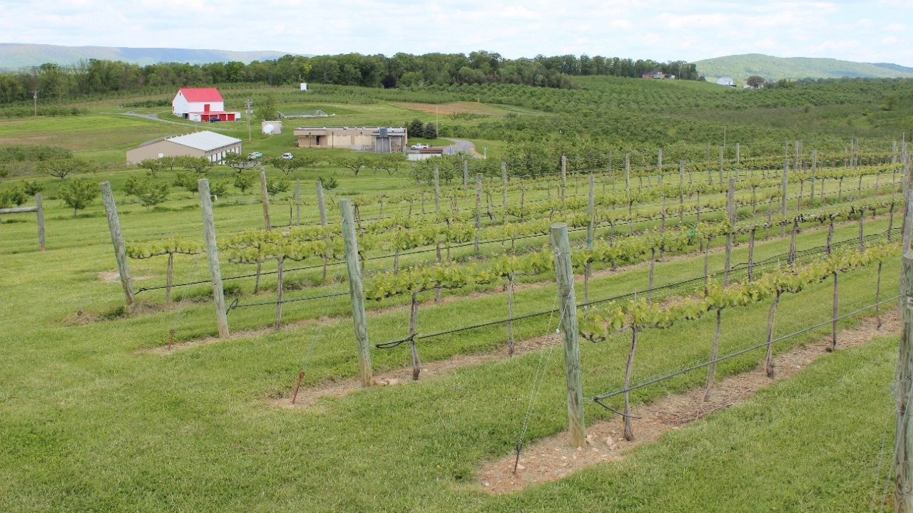 Rows of grape vines in Winchester, VA